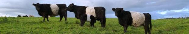 Belted Galloway Parade
